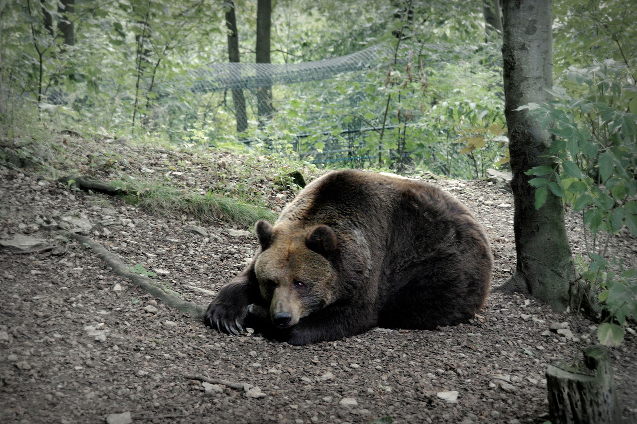 1280px-Tired_Bear_in_Worbis